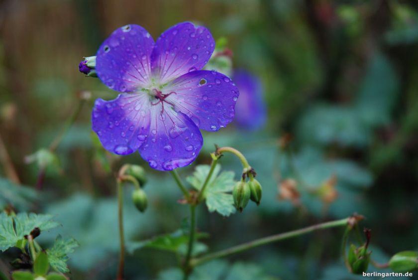 Sehr wüchsig: Storchschnabel Geranium Rozanne