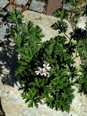 Graveolens-Pelargonien duften nach Rose