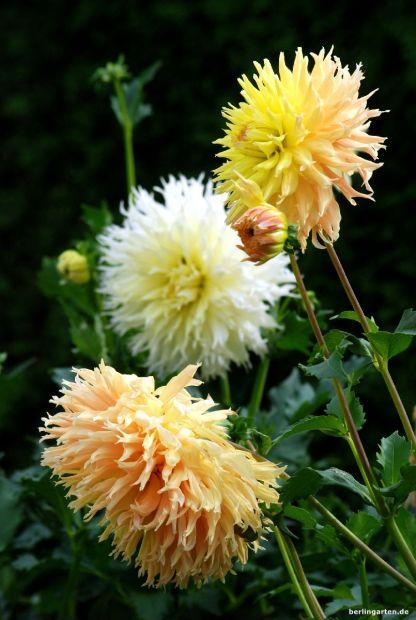 Kategorie 20-25 cm Blütengröße