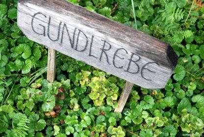 Nicht etwa ein Unkraut: Die Gundelrebe hat auch als Würz- und Heilkraut viel zu bieten