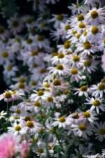 Chrysantheme 'Hebe' changiert von einem zarten Rosa zu weiß. Mit ihrer goldenen Mitte hat sie Bienen viel zu bieten