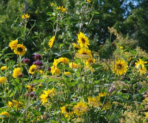 Staudensonnenblume Helianthus decapetalus Triomphe des Gand und Soleil d'Or