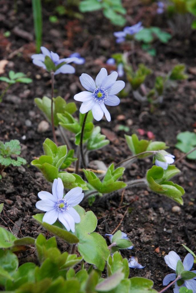 Leberblümchen Hepatica x media 'Himmelslicht'