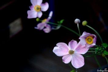 Herbstanemonen Anemone japonica haben etwas tänzerischesHerbstanemonen