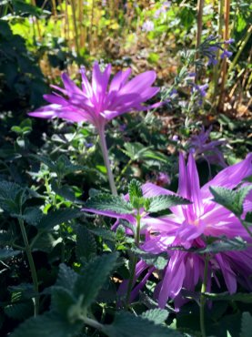 Schmiegt sich ins Laub der Katzenminze: Herbstzeitlose 'Waterlily'