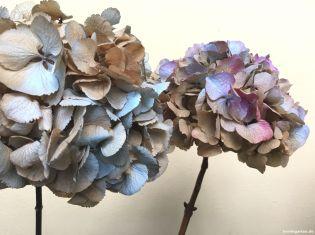 Hortensien dezent gefärbt