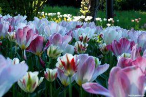 Im Tulipan-Areal finden sich alle Formen und Farben an Tulpen