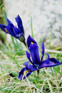 Iris im Gras