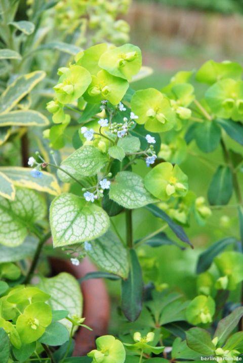 Kaukasusvergissmeinnicht Brunnera und Wolfsmilch Euphorbia