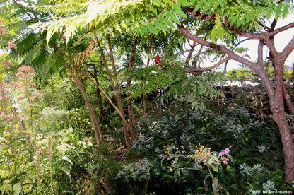 In Nordamerika zuhause: Rhus typhina 'dissecta' (Essigbaum) und Pycnanthemum muticum (Cherokee-Bergminze) dazu die Deutsche Aster 'violetta'