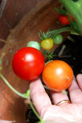Keine Blütenendfäule bei Tomaten