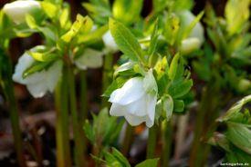 Lenzrose in reinem Weiß