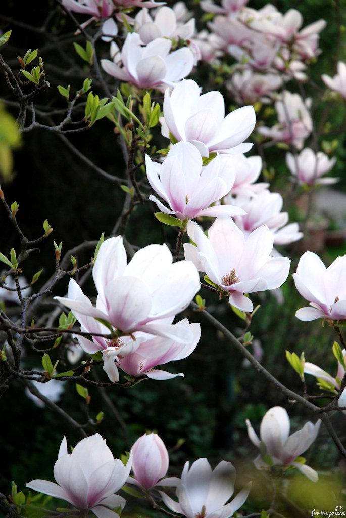 Magnolienblüten des Tulpenbaums