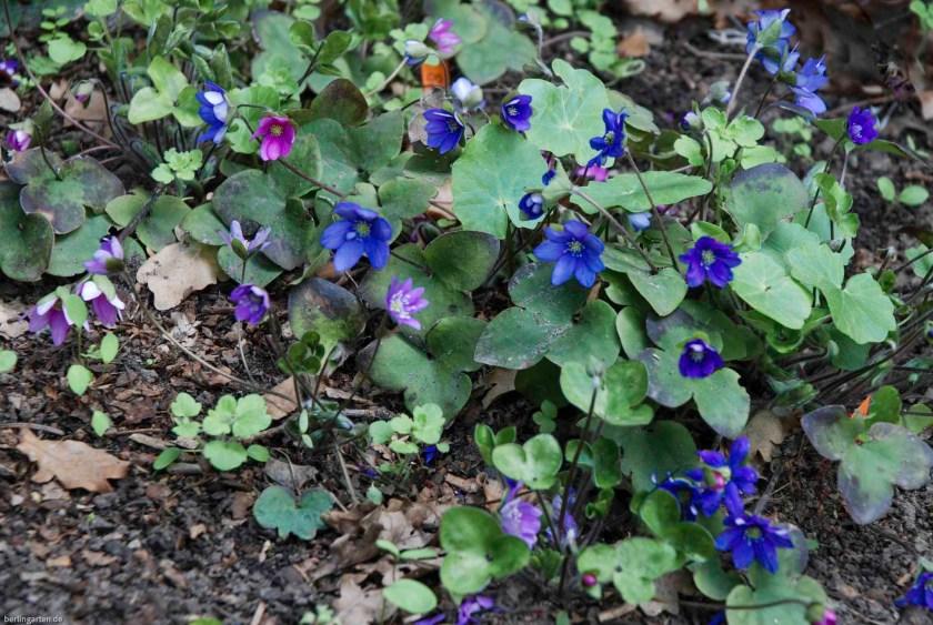 Sämlinge von Hepatica nobilis, Blütezeit der Leberblümchen ist März-April