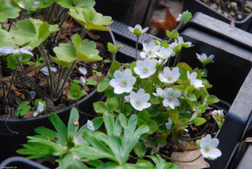 Getopfte weiße Leberblümchen