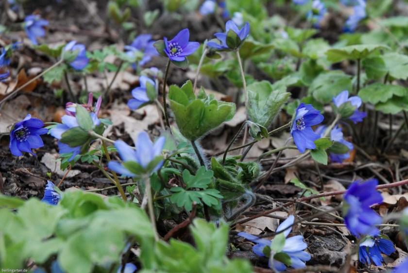 Blaue Frühlingsblüher
