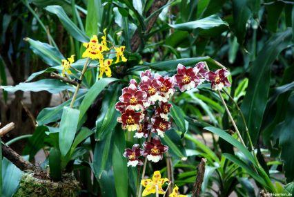 Odontoglossum Hybriden