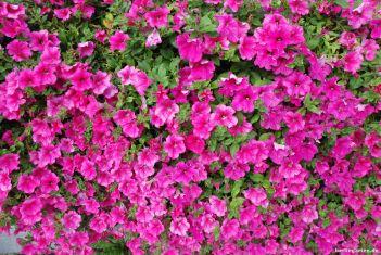 Petunie Sulfinia Purple wird richtig üppig