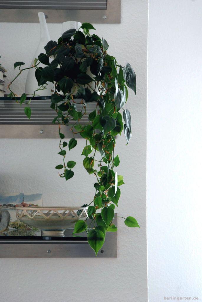 Der Kletter-Philodendron Philodendron scandens ist überaus genügsam