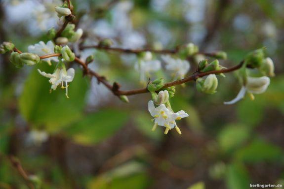 Purpus Heckenkirsche Lonicera x purpursii