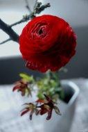 Ranunkeln sind selbst so eine Art floraler Pompon