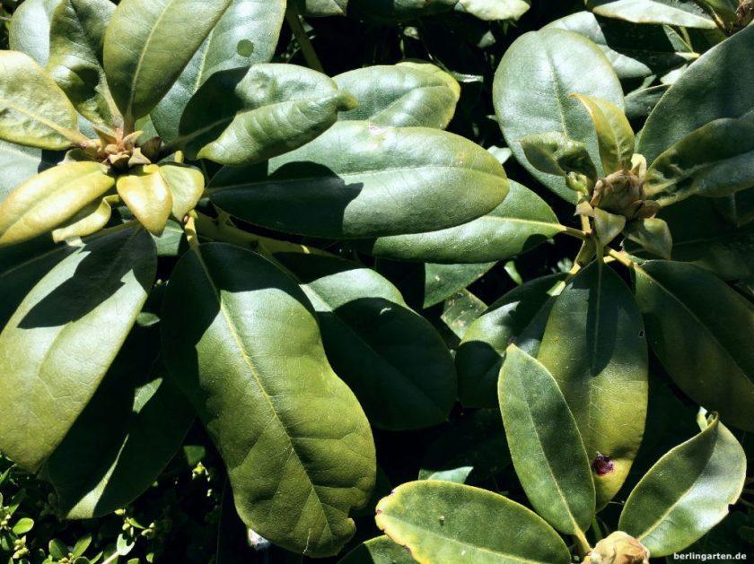 Rhododendron Eisenmangel