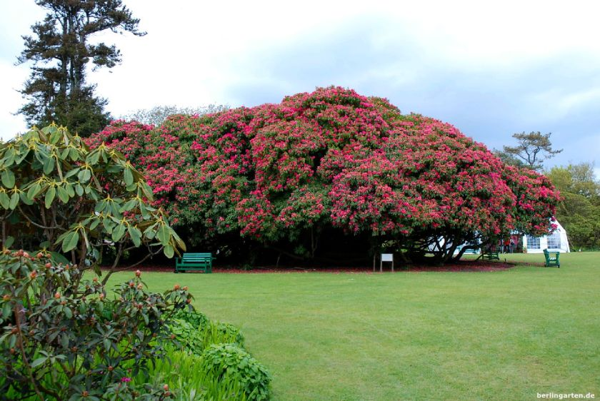 Rhododendron Heligan