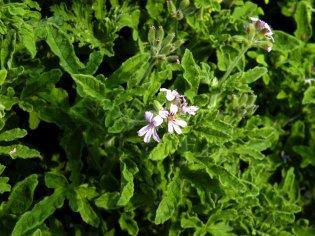 Robers Lemon Rose: Der Name ist Programm. Kräftiges Laub und zarte weiß-rosa Blüten