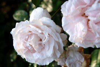 Rosen dürfen nicht fehlen: hier Constanze Mozart mit schönem Duft