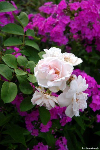Rose Maidens Blush und Phlox