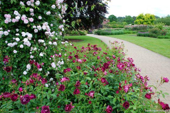 Rosen in Schwüngen gepflanzt