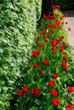 Rote Tulpen, grünes Laub - was für ein starker Kontrast