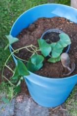 Zur Pflanzung war die Süßkartoffel noch klein