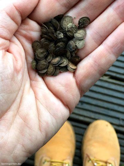 Gleich wieder ausbringen: Saat Silberblatt Lunaria annua