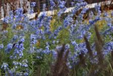Salvia azurea, Präriesalbei