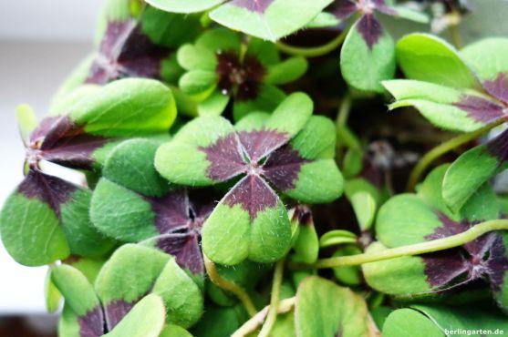 Sauerklee Oxalis tetraphylla