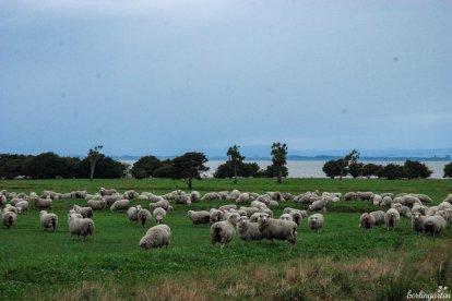Schafe sind sprichwörtlich für Neuseeland und tatsächlich gibt es Millionen von ihnen. Leider wurde der Großteil des einheimischen Regenwaldes erst durch die Urbevölkerung, die Maori, dann aber verstärkt durch die europäischen Siedler abgeholzt. Massive Erosion war die Folge, der mit Wiederaufforstungsprogrammen begegnet werden soll