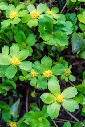 Frühe Blütenstaude: Schaftdolde Hacquetia epipactis
