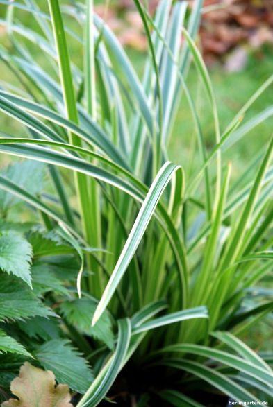 Weißrandsegge Carex Variegata