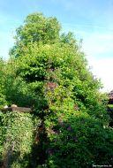 Setzen dem Birnbaum fast schon zu - Kletterhortensie und Clematis