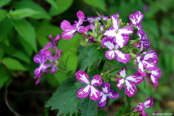 Silberblatt Lunaria als Farbmutation