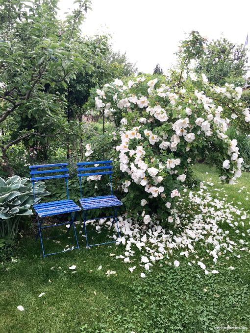 Sitzen unter Rosen - Nevada ist ein Traum in weiß