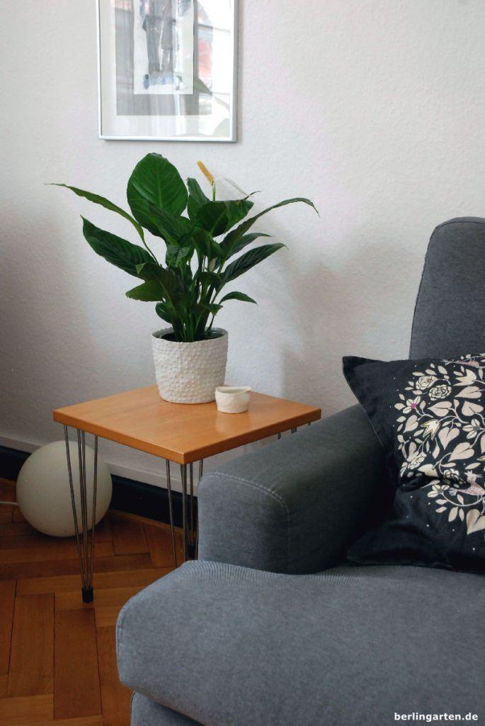 Das Einblatt Spathiphyllum ist eine elegante Erscheinung