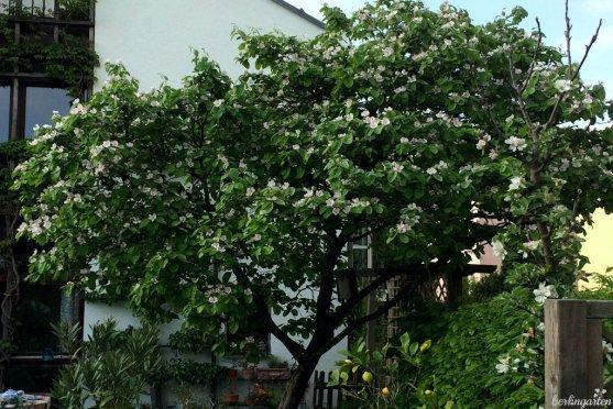 Quittenbaum in voller Blüte