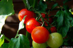 Tomate Sparta
