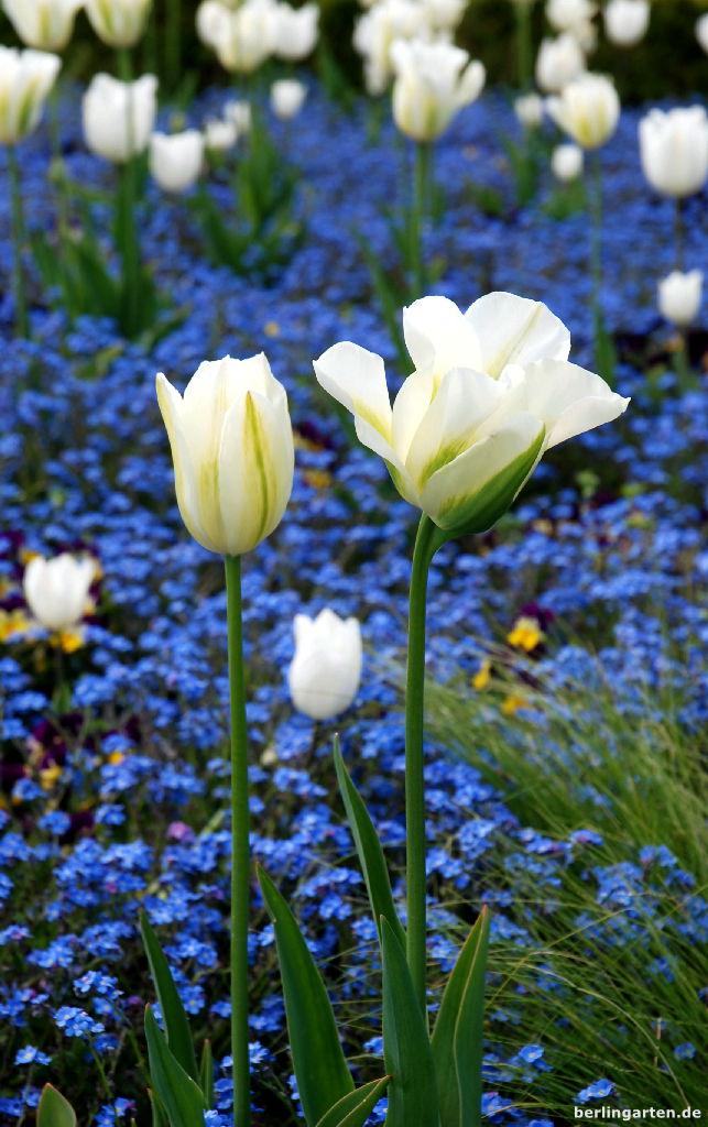 Tulipa Viridiflora im Britzer Garten