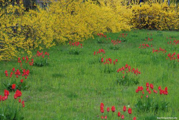 Tulpen und Forsythien im Farbrausch