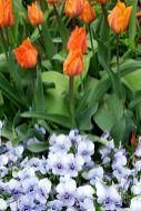 Tulpen und Hornveilchen
