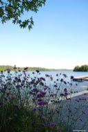 Blick durch Verbena bonariensis auf den Großen Eutiner See