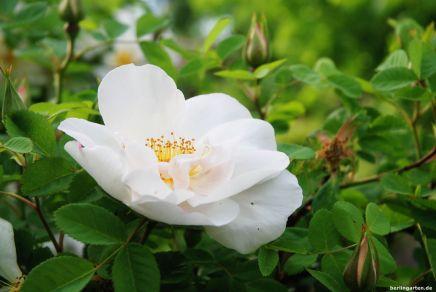 Die weiße Rose zeigt das Happy End von Max und Agathe an